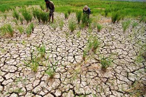 Ratusan Hektar Tanaman Padi di Lampung Tengah Gagal Panen