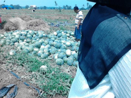 Panen semangka petani di Lampung Tengah, Sabtu, 31/10/2015. | Melia Uswatun Hasanah/Jejamo.com