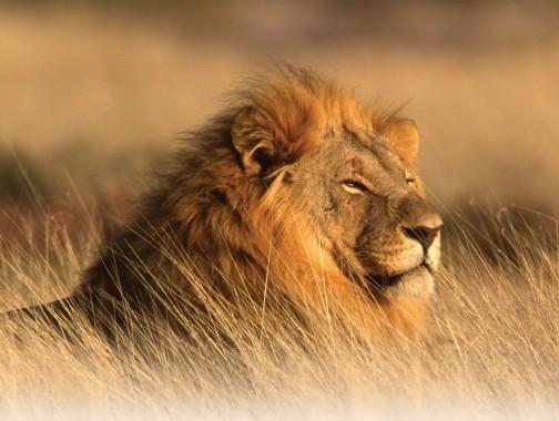 20 Tahun Menuju Punahnya Singa Afrika