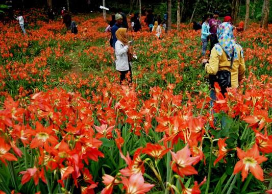 Inilah Kebun Bunga Amaryllis Milik Sukadi yang Mempesona