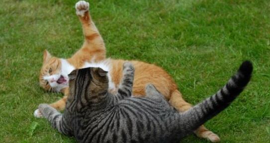 Ini Alasan Mengapa Kucing Suka Bertengkar