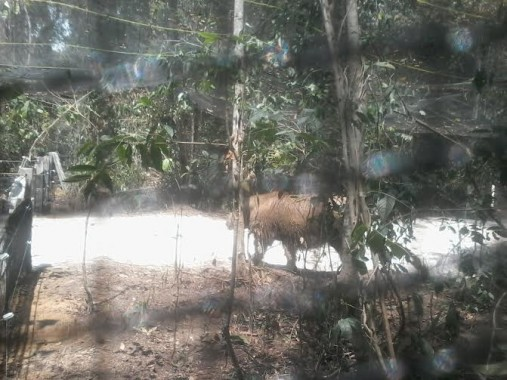 Sumatera Rhino Harapan Submitted to TNWK East Lampung
