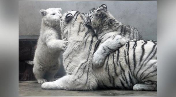 Anak Harimau Putih Polos Langka Ini Lahir di Cina