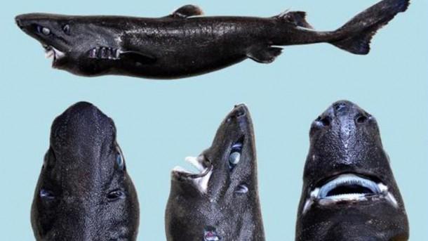Hiu Ninja, Predator Dasar Laut yang Baru Ditemukan