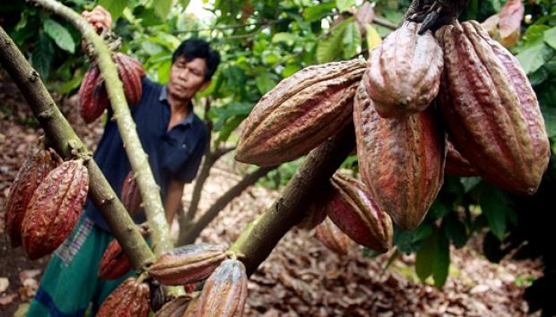 Kakao Sulawesi | ist