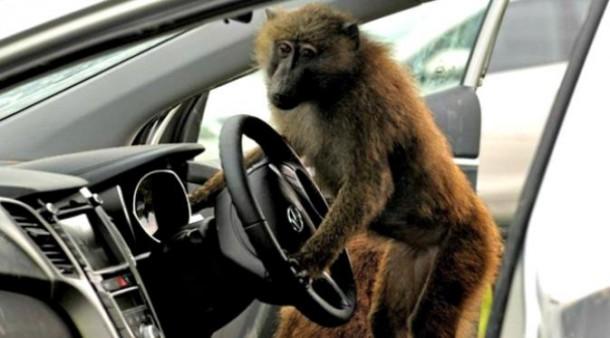 Sopir Asyik Tidur, Bus Dikemudian Monyet