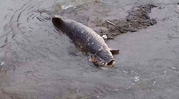 Terungkap!! Inilah Pemilik Ikan Raksasa di Sungai Ciliwung