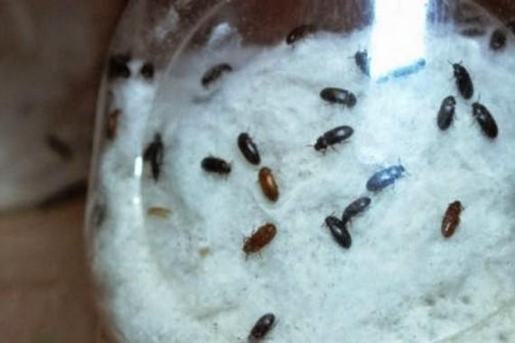 Inilah Khasiat dan Manfaat Semut Jepang untuk Kesehatan Anda
