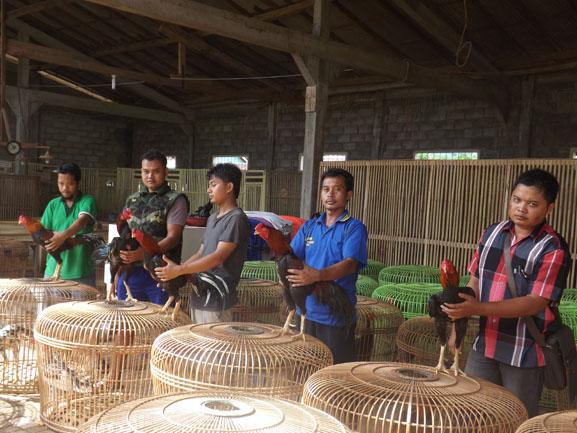 Maling Ayam Merajalela, Warga Lampung Timur Resah