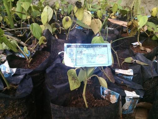 Bibit Lada Dinas Perkebunan dan Kehutanan Lampung Timur Banyak Mati