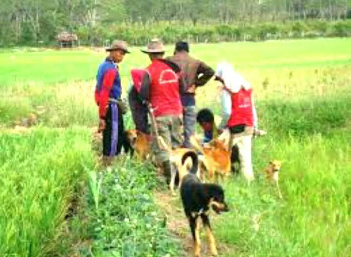 Dibantu hewan peliharaan, sejumlah petani di Desa Gedung Dalem, Kecamatan Batanghari Nuban, Lampung Timur, melakukan gropyokan untuk membasmi hama tikus di sawah. | Wahyu/Jejamo.com