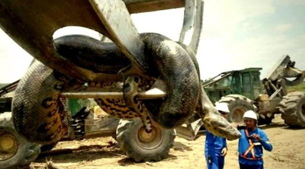 Ini Rekor Baru Ular Anaconda Terbesar di Dunia