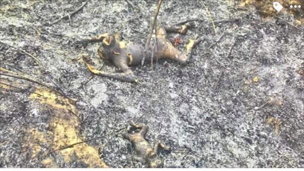 Foto 3 Orangutan Mati Terbakar di Kalimantan Jadi Sorotan Dunia