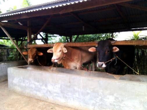 Penggemukan sapi milik Budi Setiono, warga Tiyuh Margo Kencono | Rengki/jejamo.com