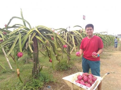 Kebun Buah Naga Organik Metro jadi Tempat Agro Wisata