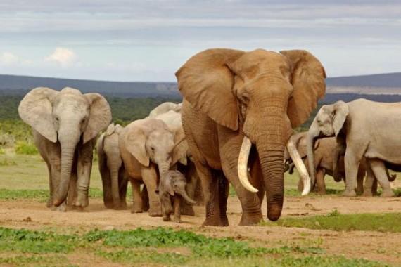 Prilaku Cerdik Gajah untuk Menghindari Kontak dengan Manusia