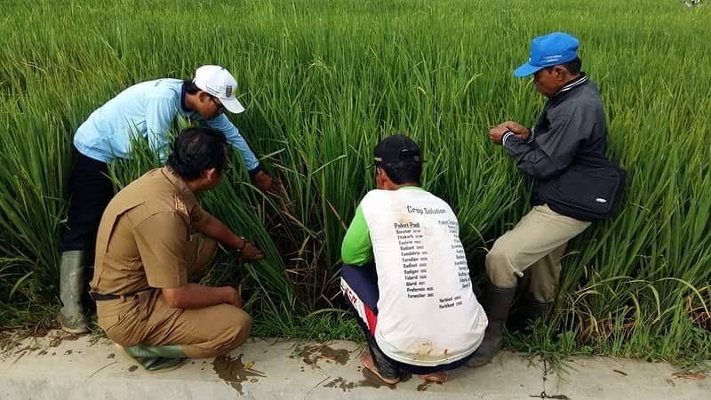 Dinas Pertanian Metro Tangani Serangan Hama Wereng di Rejomulyo