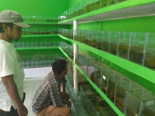 Cupang Serit Primadona Breeder Lampung untuk Dikembangkan