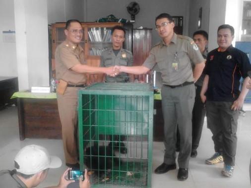 Dinas Kehutanan dan Perkebunan Lampung Utara menyerahkan seekor siamang yang didapatkan dari warga kepada Balai Konservasi Sumber Daya Alam (BKSDA) | Lia/jejamo.com