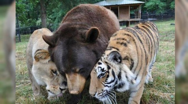 Kisah Mengharukan Persahabatan Tiga Ekor Hewan Buas