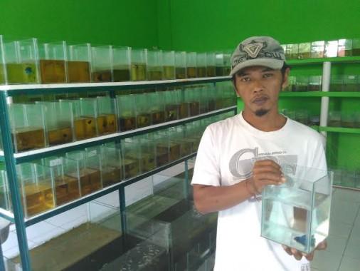 Saiful Amin, Pembudidaya Cupang Totokaton yang Go Internasional