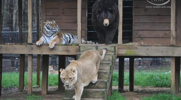 Trio Singa, Macan dan Beruang