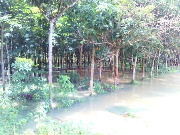 Banjir Genangi Kebun Karet di Bandardewa Tulangbawang Barat