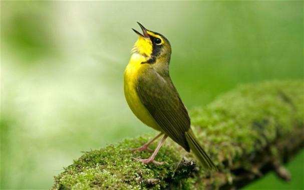 Burung bernyanyi