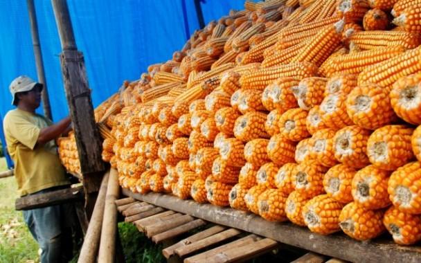 Pemerintah Melalui Bulog Naikkan Harga Jagung Jadi Rp 2.700 per Kilo