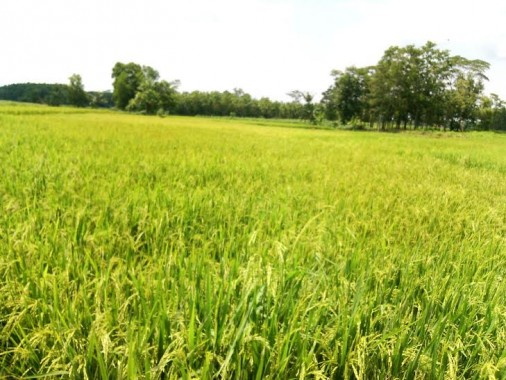 Lahan padi di Desa Daya Asri, Kecamatan Tumijajar, Kabupaten Tulangbawang Barat | Rengki/jejamo.com