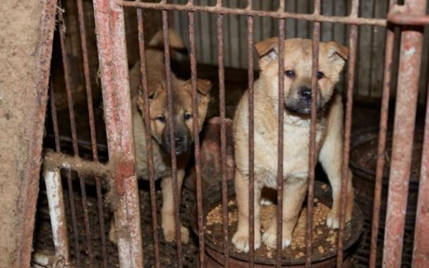 200 Anjing Selamat Dari Juru Masak di Korea Selatan