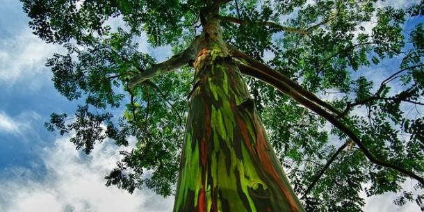 Pohon Eukaliptus Ternyata Bisa Jadi Indikator Deposit Emas Dalam Tanah