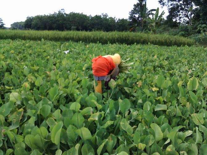 Ibu Titik saat memetik sayuran genjer | Rengki/jejamo.com