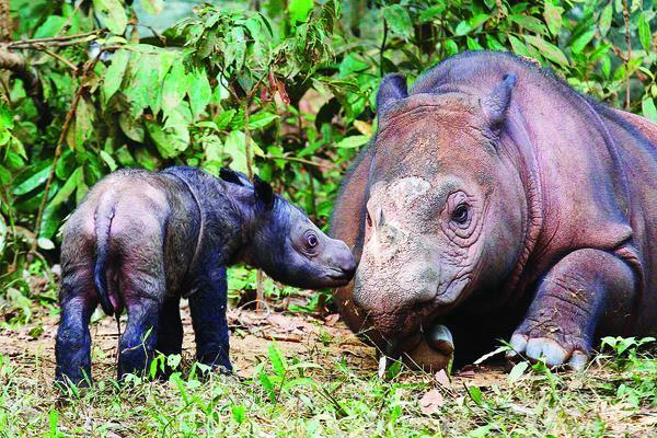 Bayi Badak Anak Ratu dan Andalas Lahir di TNWK Lampung Timur