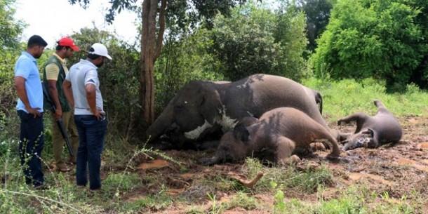 Empat Ekor Gajah Sri Lanka Tewas Disambar Petir