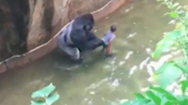 Petugas Kebun Binatang Terpaksa Tembak Mati Gorila yang Menangkap Seorang Bocah