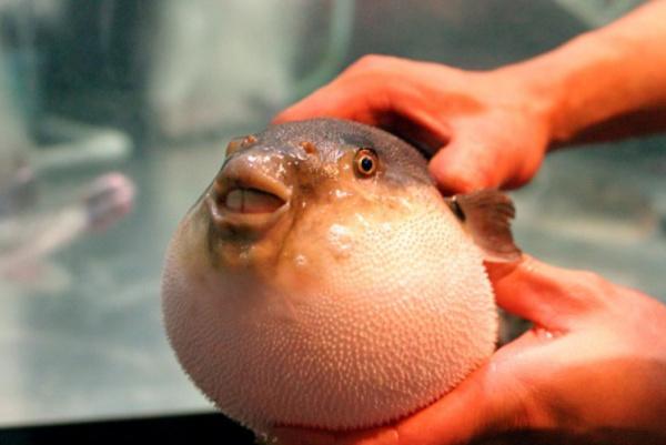 Ikan buntal | ist