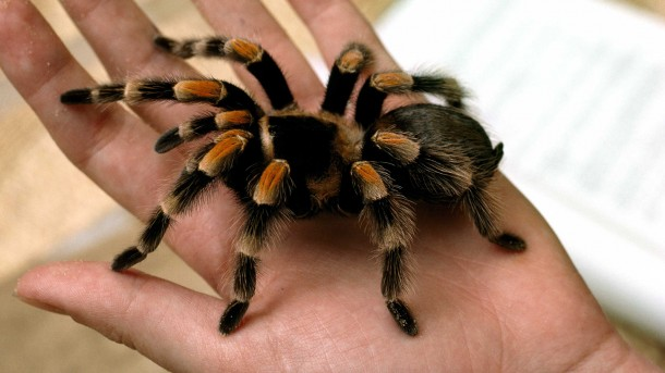 Ilustrasi tarantula. |nationalgeographic