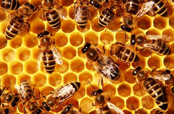 Lebah madu. | Ist.