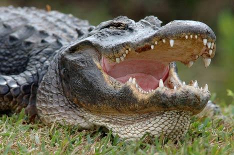 Polisi Temukan Tubuh Bocah yang Diseret Aligator di Lokasi Wisata Disney World