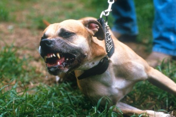 Serang Ibu dan bayinya, Dua Anjing Jenis Pit Bull Dibunuh  Paksa