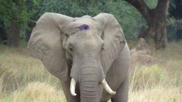 Tertembak di Kepala, Gajah Ini Berhasil Selamat dari Pemburu
