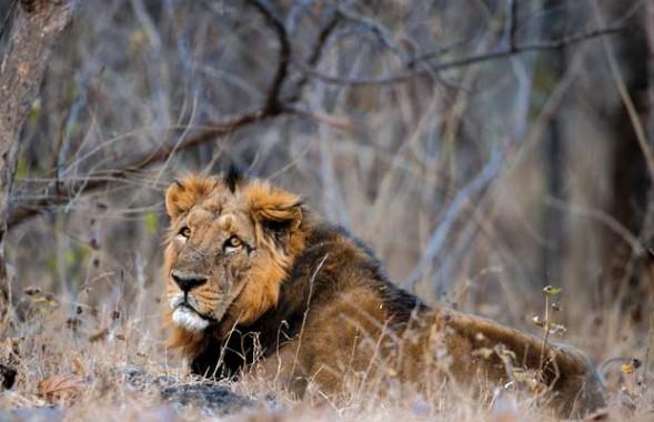Singa di Taman Nasional Gir India