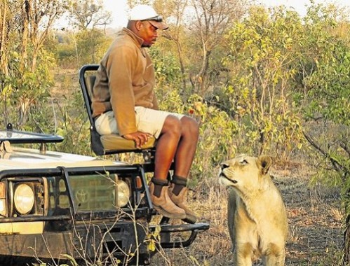 Didekati Singa Betina, Penjaga Taman Safari Ini Ketakutan Setengah Mati