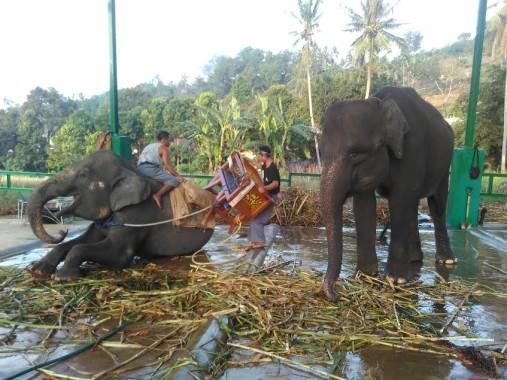 Empat Gajah Sumatera Asal Way Kambas Hibur Pengunjung Lembah Hijau