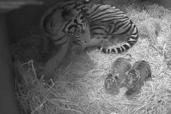 Harimau Sumatera dan Anaknya