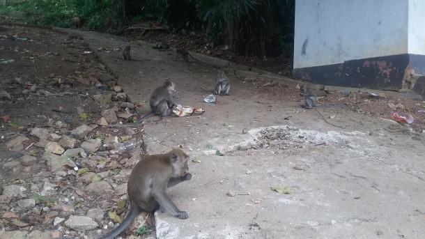 Pemkot Bandar Lampung Diminta Menjamin Kawanan Monyet Hutan Kera Tak Ganggu Warga
