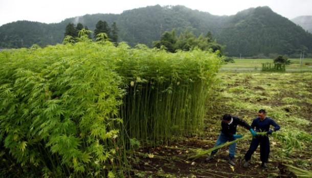 Jepang Legalkan Kebun Ganja Raksasa Untuk Kebutuhan Tekstil