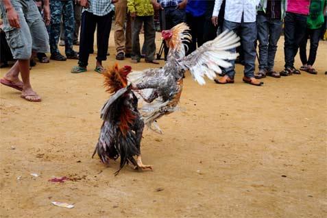 Ditangkap Polisi di Areal Sabung Ayam, Salah Satu Kakam di Lampung Tengah Dibebaskan