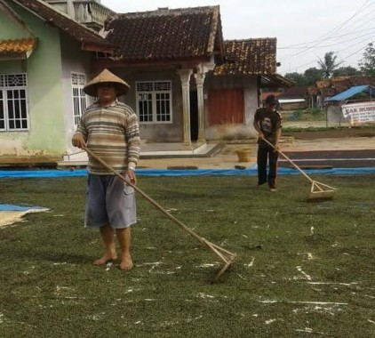 Terancam Gagal Panen, Petani Padi di 3 Kecamatan Lampung Tengah Menjerit